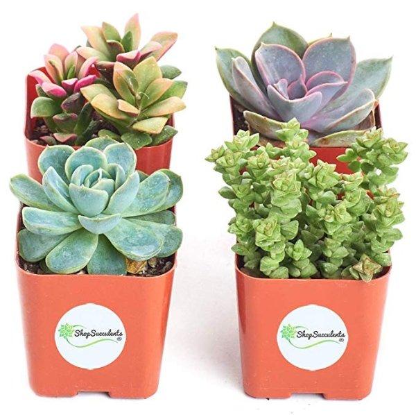 Shop Succulents 多肉植物4盆