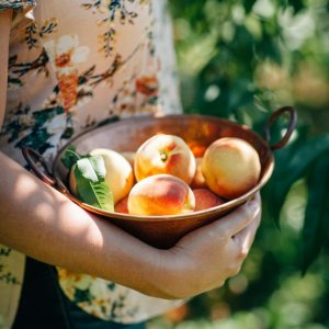 多伦多8月蜜桃农场大全摘完草莓樱桃~迎来桃子季!周末亲近自然新去处