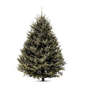 1.5米左右新鲜的苦瓜冷杉圣诞树