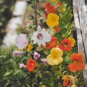 低至8折 $9.59收粉紫色康乃馨Lowes 花卉种子热卖中 绣球 波士顿蕨 覆盆子多种花种等你收