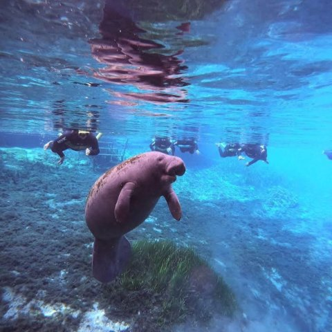 Starting at 20.8Three-Hour Manatee Snorkeling Tour from Adventure Diving