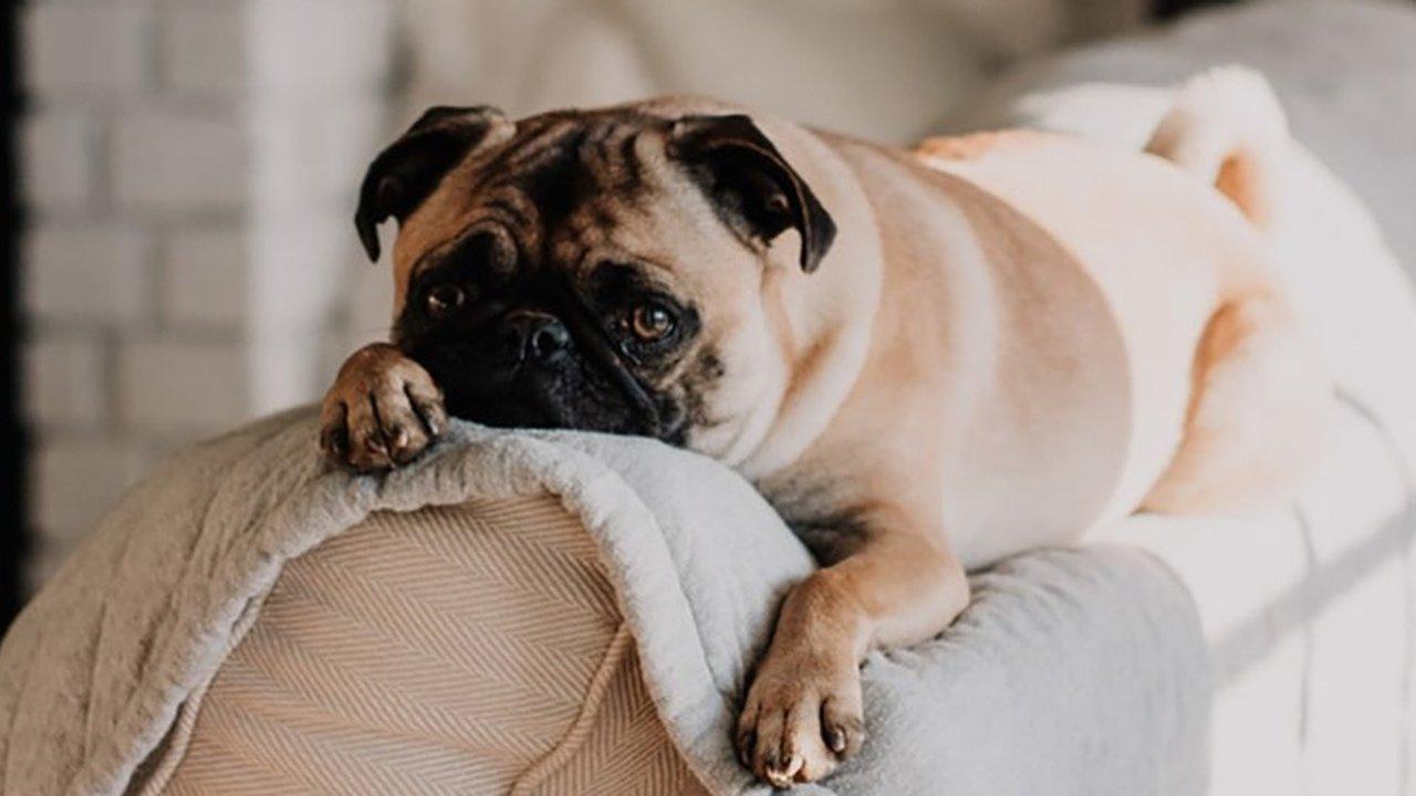 最新狗狗智商排名TOP 10,排第八名那位我真没想到会是它!