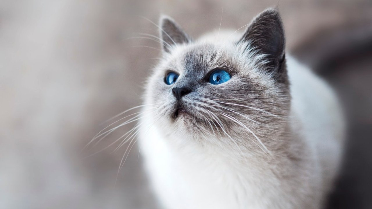 猫过敏和易过敏体质如何实现成为铲屎官的梦想?| 低致敏猫大盘点