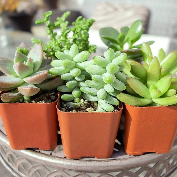 Plants for Pets 多肉植物盆栽5个