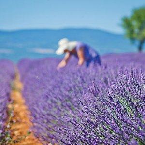夏季度假好去处经验贴 | 盘点法国那些浪漫且美丽的薰衣草花田