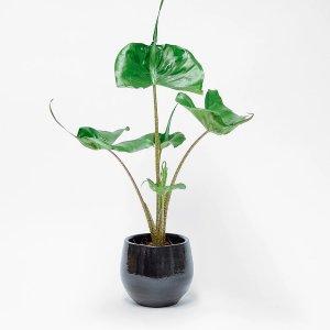 Stingray | Plants | Orchidya | Floom