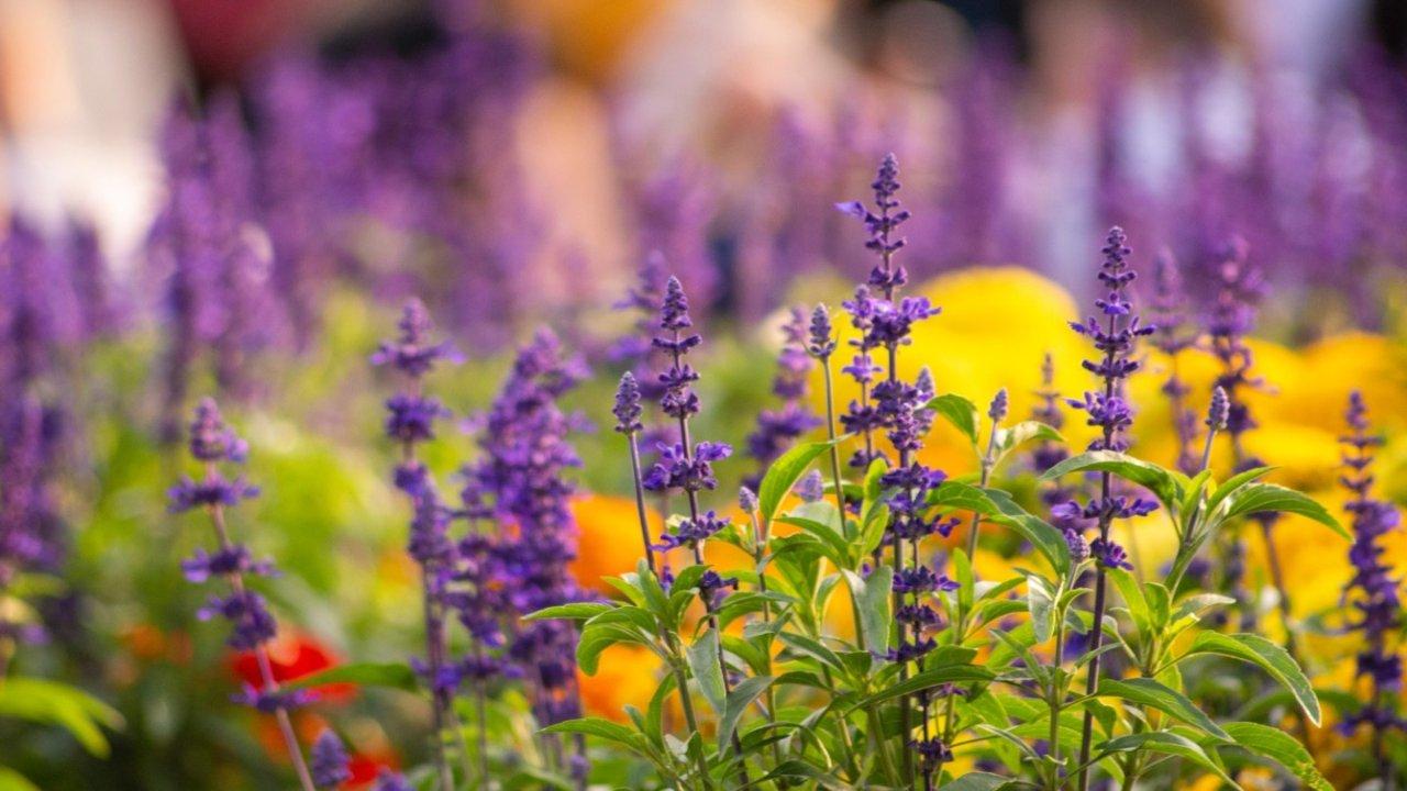 旅游攻略 | 夏季度假好去处之法国那些浪漫且美丽的薰衣草花田盘点