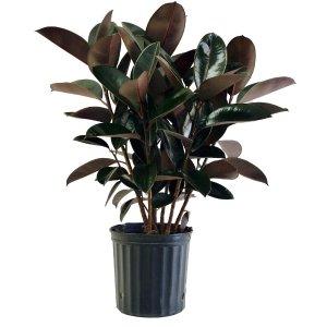 Costa Farms 橡胶树+8.75寸花盆