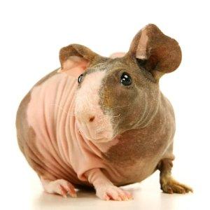 Petco无毛豚鼠