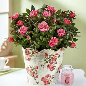 Classic Budding Rose Plant