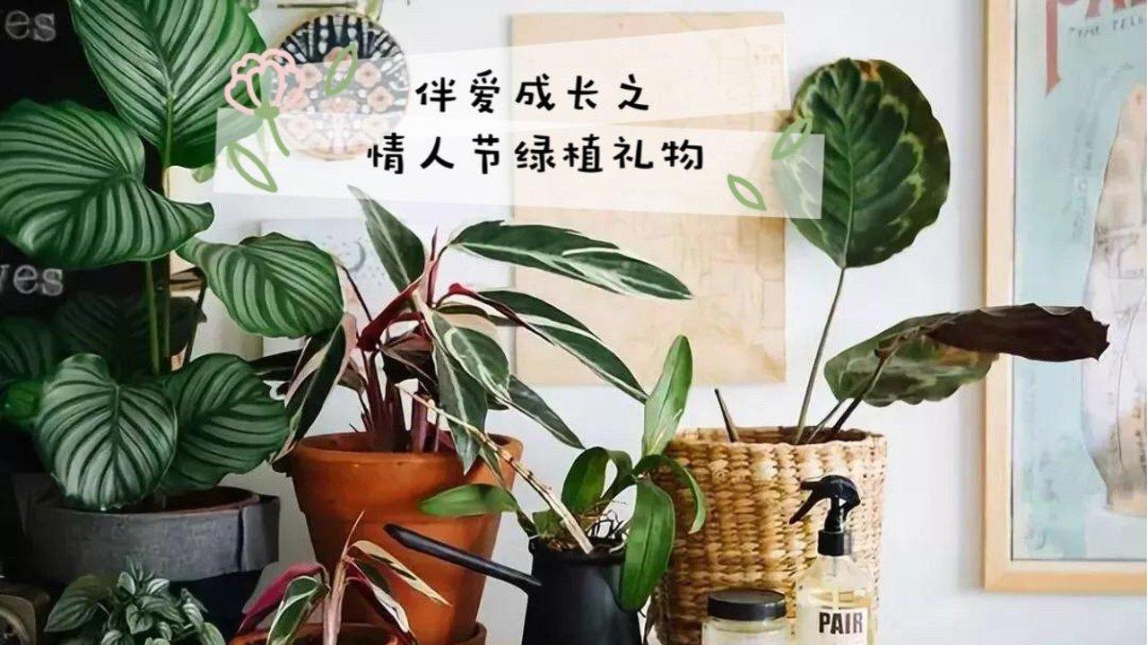 情人节还在买包吗?不如用买盆稀有绿植!