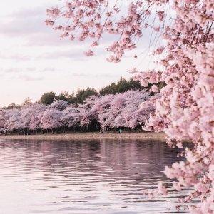 直飞往返仅$78起美国多地--华盛顿DC 往返机票好价格 樱花季去赏花