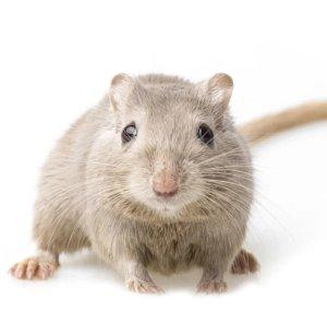 Petco沙鼠