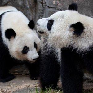 免费观看 圆滚滚销魂睡姿亚特兰大动物园 大熊猫双胞胎姐妹花线上直播,宅家看熊猫日常