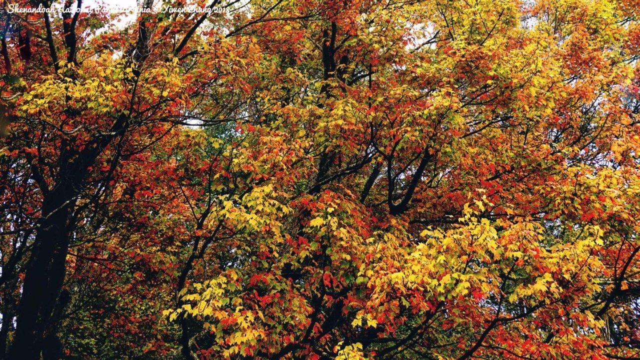 红叶峰期查询&预测 | 秋风染红叶,片片醉如春