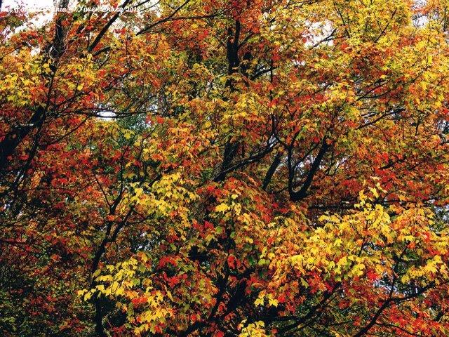 红叶峰期查询&预测 | 秋风染红叶...