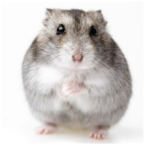 Hamsters for Sale: Dwarf Djungarian Hamsters for Sale | Petco
