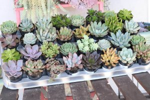 "Assorted 2.5"" Succulents for Wedding Favors, Party Gifts and Gardens - Live Succulent Plants - Walmart.com"