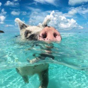 $279起 打卡粉红沙滩 可爱猪岛巴哈马当地参团、游轮航线爆款热卖