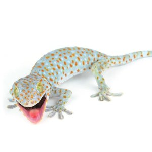 PetcoTokay Gecko (Gekko gecko) | Petco