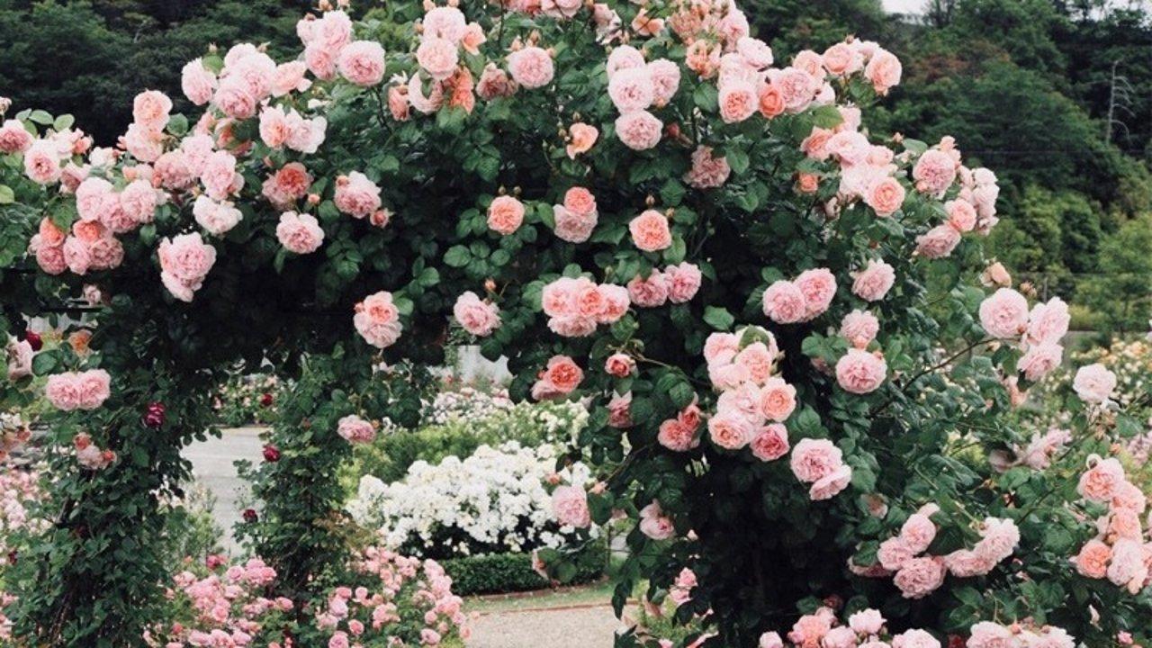 花花草草 | 零基础手残星人也可以养好【独一无二】的玫瑰🌹